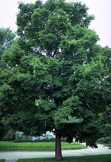 Sugar Maple In The Spring Leaf
