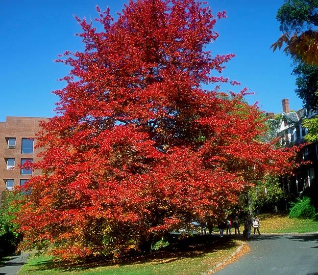 Kate black tupelo gum tree pictures