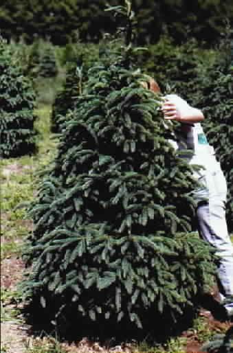 Christmas Tree Saplings
