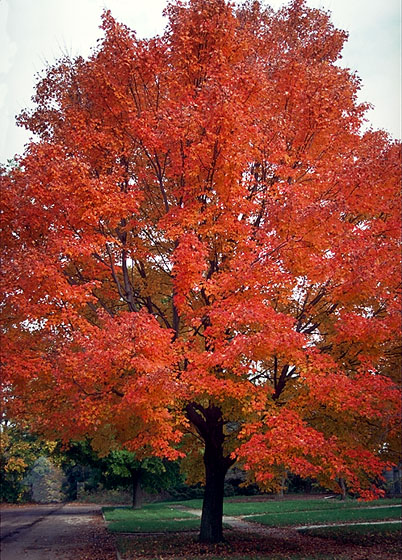 Red or swamp Maple see...