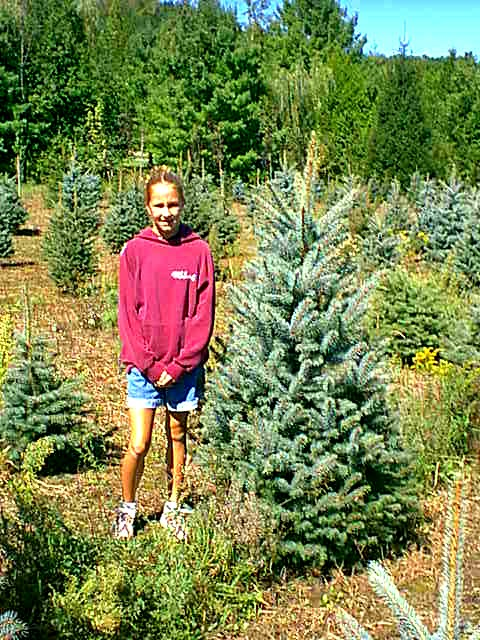 Blue Spruce From A Majestic Seedling